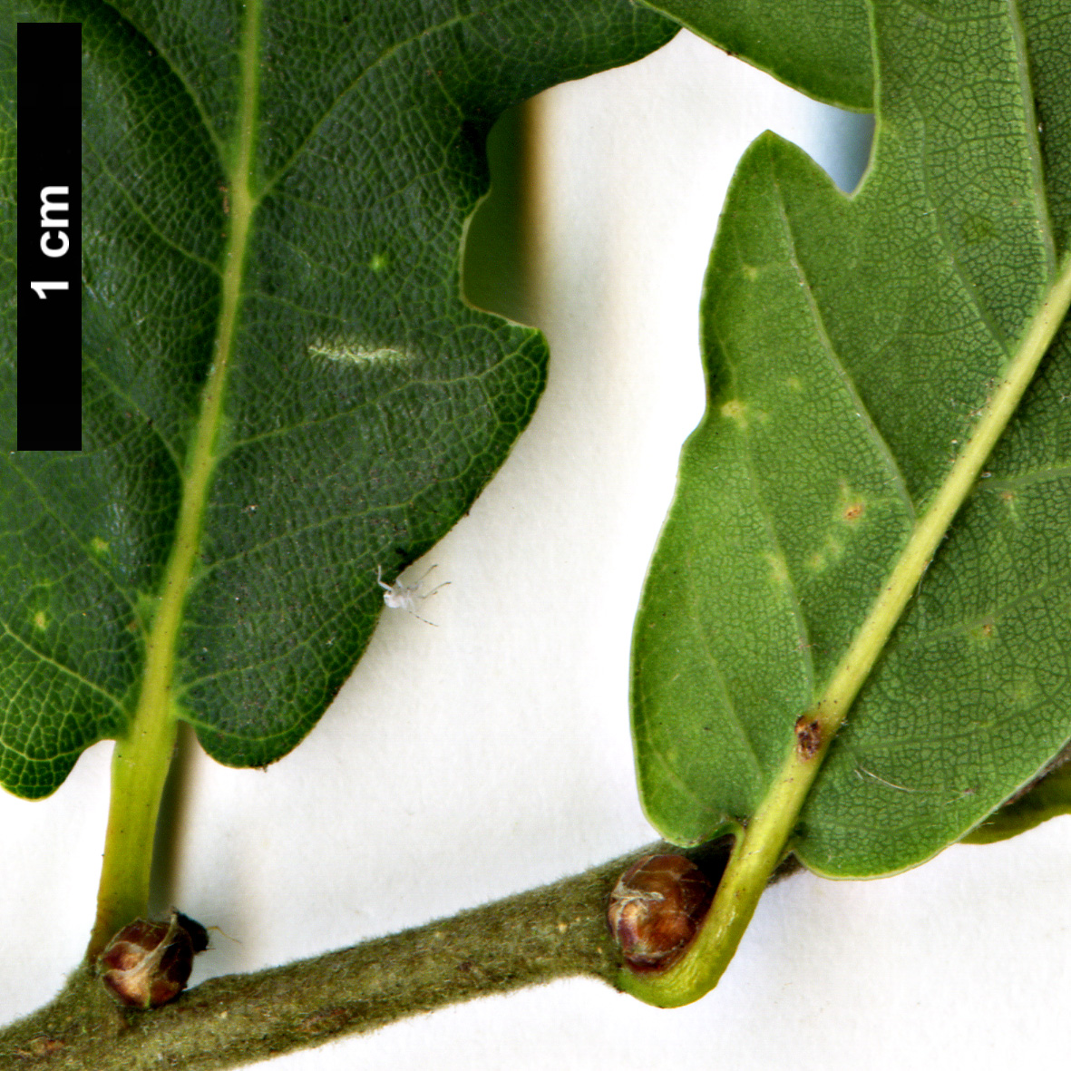 High resolution image: Family: Fagaceae - Genus: Quercus - Taxon: robur × Q.serrata