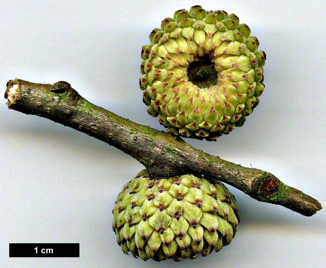 High resolution image: Family: Fagaceae - Genus: Quercus - Taxon: trojana - SpeciesSub: 'Fragno'