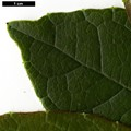 HerbariumCode: CRÛG - Herbarium: Crûg Farm Plants, Wales (UK) - Number plant: 2004-BSWJ10481-Costa Rica - Number picture: 04
