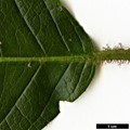 HerbariumCode: CRÛG - Herbarium: Crûg Farm Plants, Wales (UK) - Number plant: 2004-BSWJ10481-Costa Rica - Number picture: 07