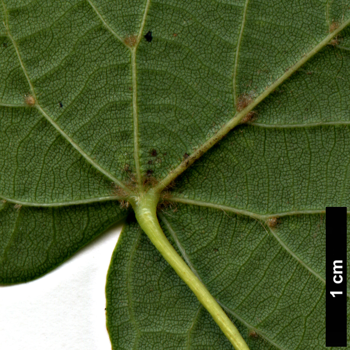 High resolution image: Family: Malvaceae - Genus: Tilia - Taxon: amurensis