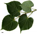 HerbariumCode: MFOST - Herbarium: Maurice Foster, Ivy Hatch (UK) - Number plant: 0000 - Number picture: 01