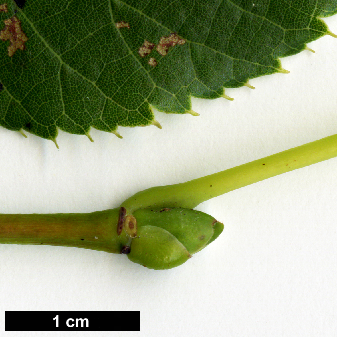 High resolution image: Family: Malvaceae - Genus: Tilia - Taxon: chinensis - SpeciesSub: var. investita