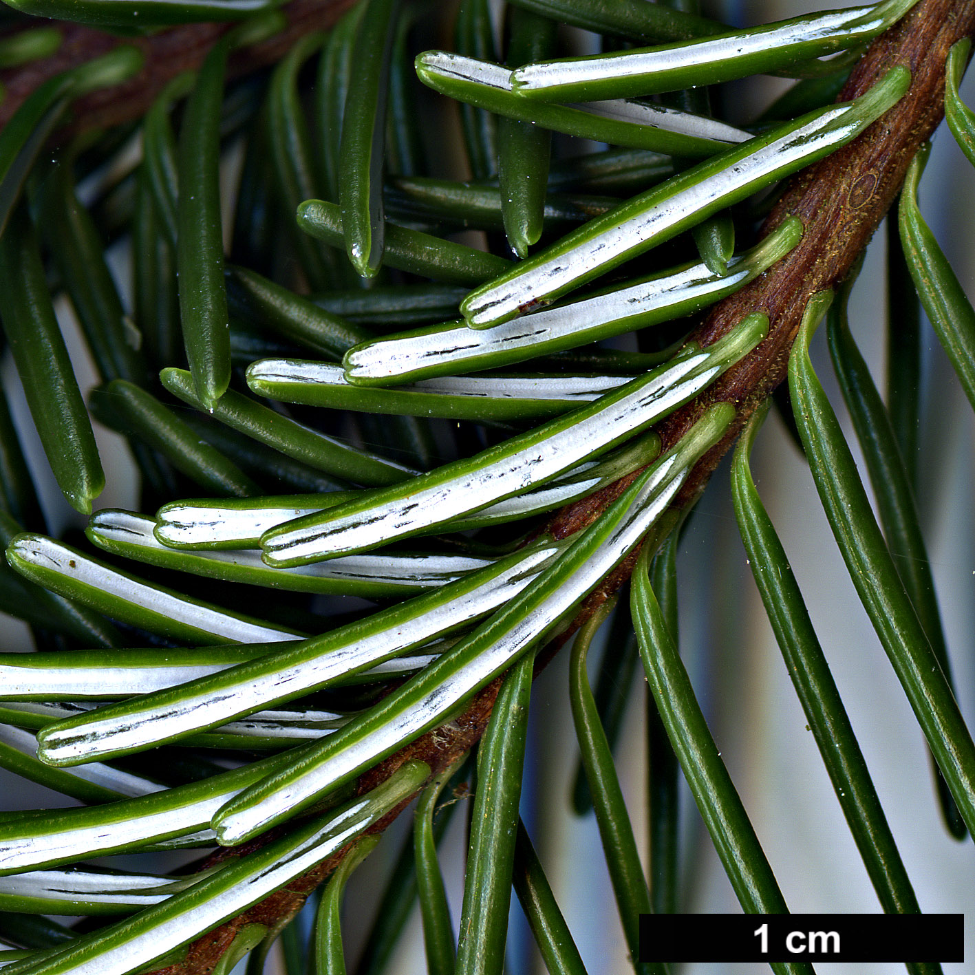 High resolution image: Family: Pinaceae - Genus: Abies - Taxon: delavayi