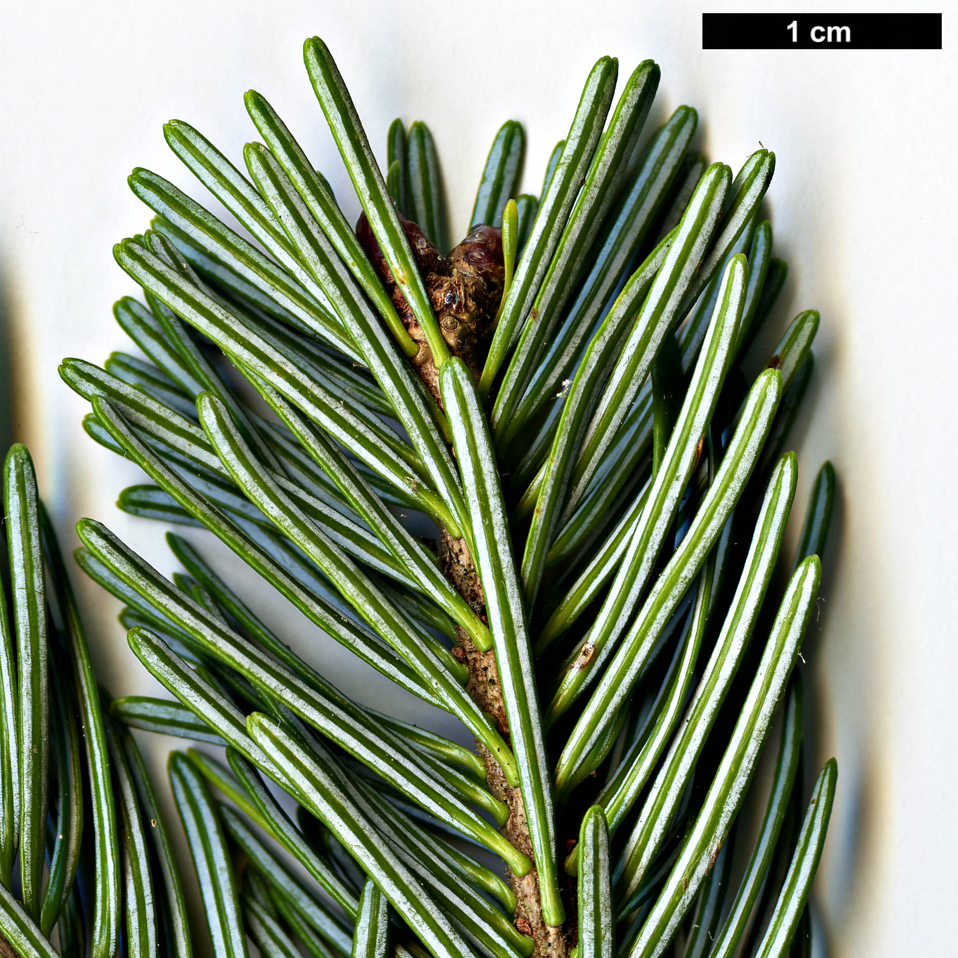 High resolution image: Family: Pinaceae - Genus: Abies - Taxon: nephrolepis