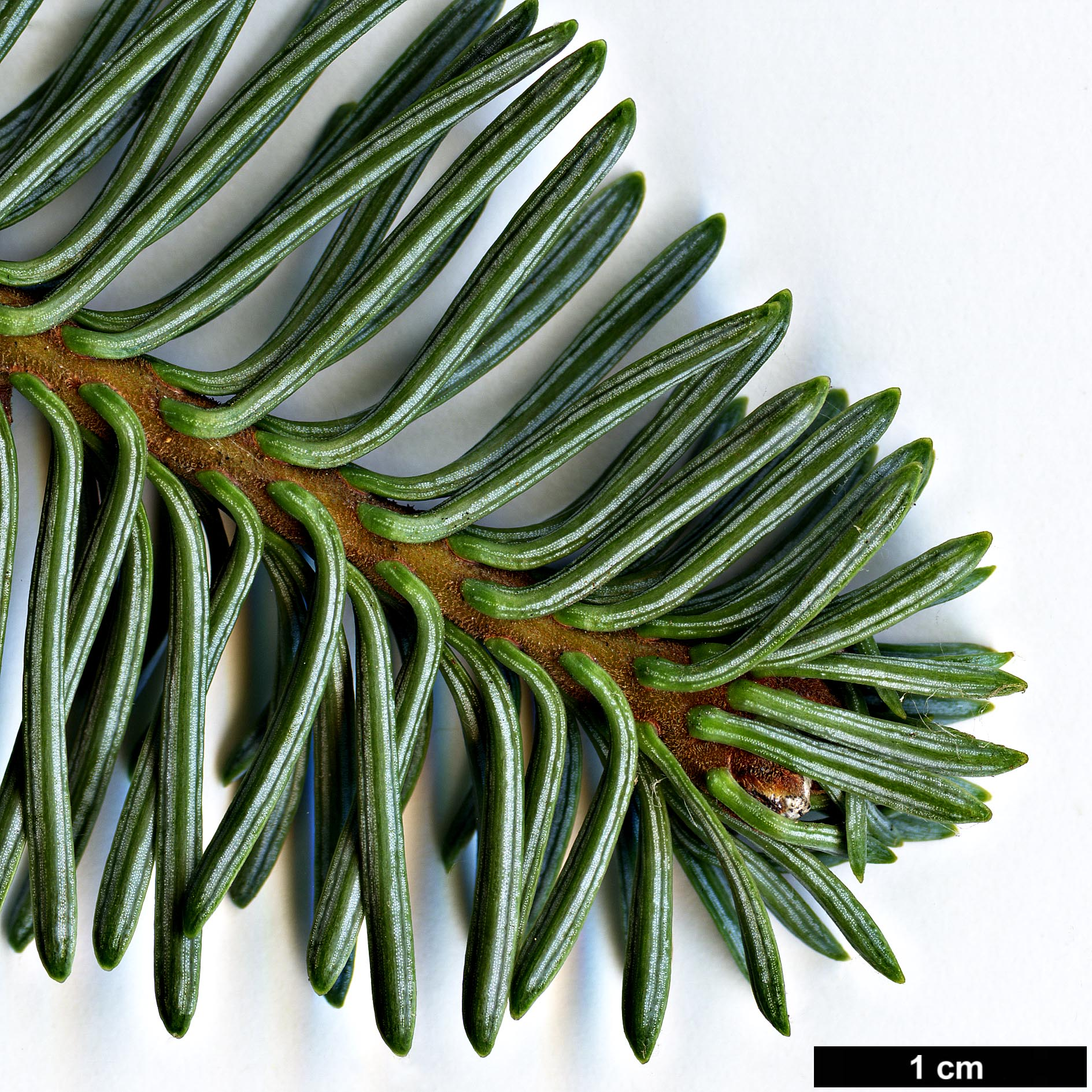 High resolution image: Family: Pinaceae - Genus: Abies - Taxon: procera - SpeciesSub: 'Glauca'