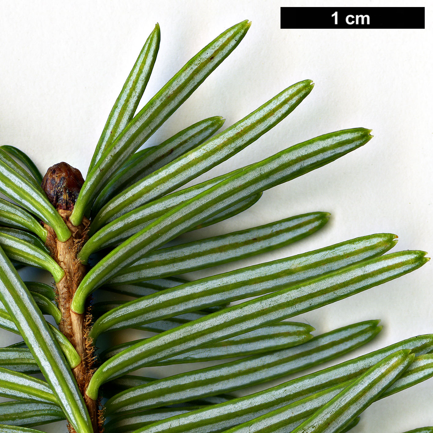 High resolution image: Family: Pinaceae - Genus: Abies - Taxon: spectabilis