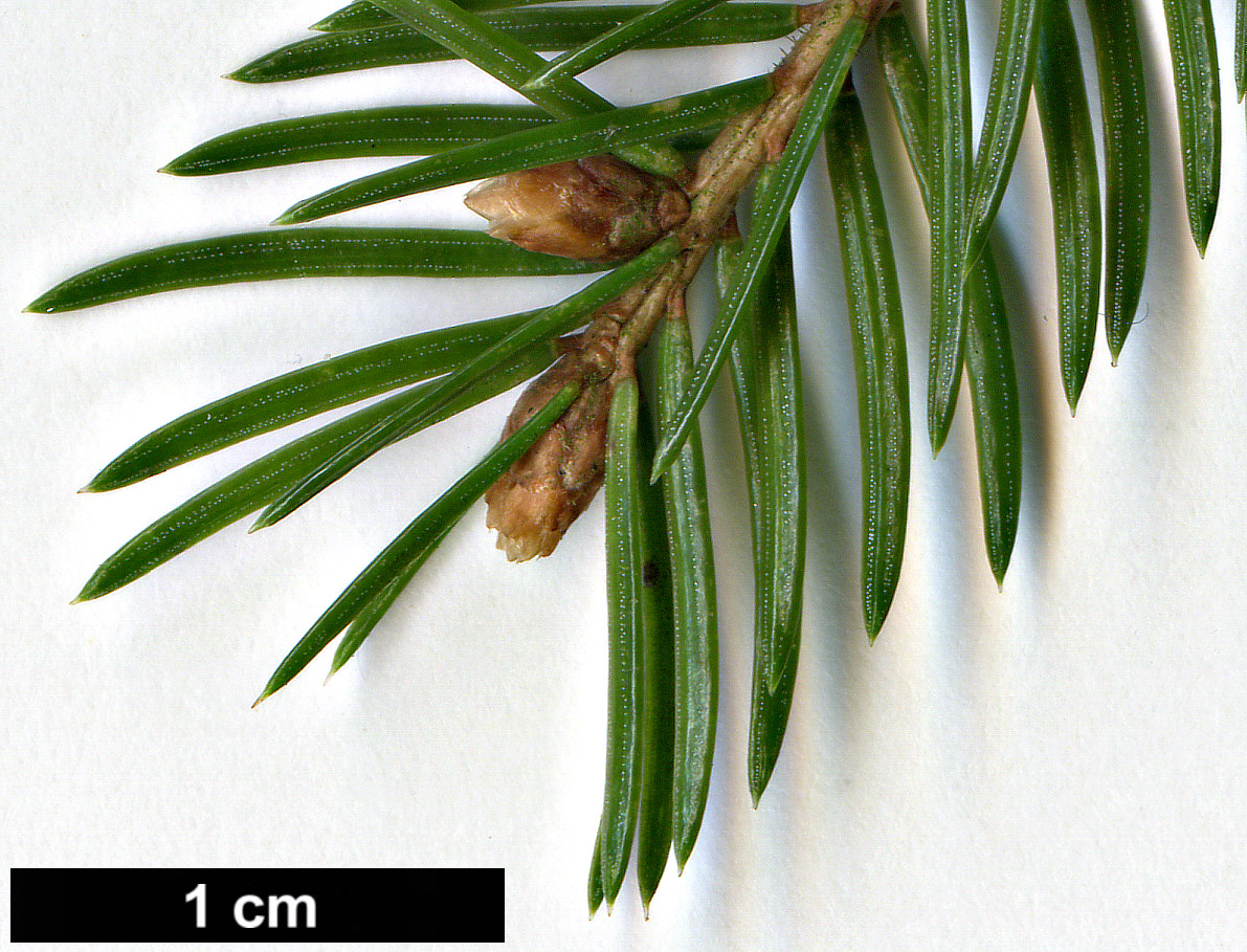 High resolution image: Family: Pinaceae - Genus: Picea - Specy: abies - HerbariumCode: ARLR - Herbarium: Arboretum Robert Lenoir Rendeux (B) - Number plant: 2549 - Number picture: 05
