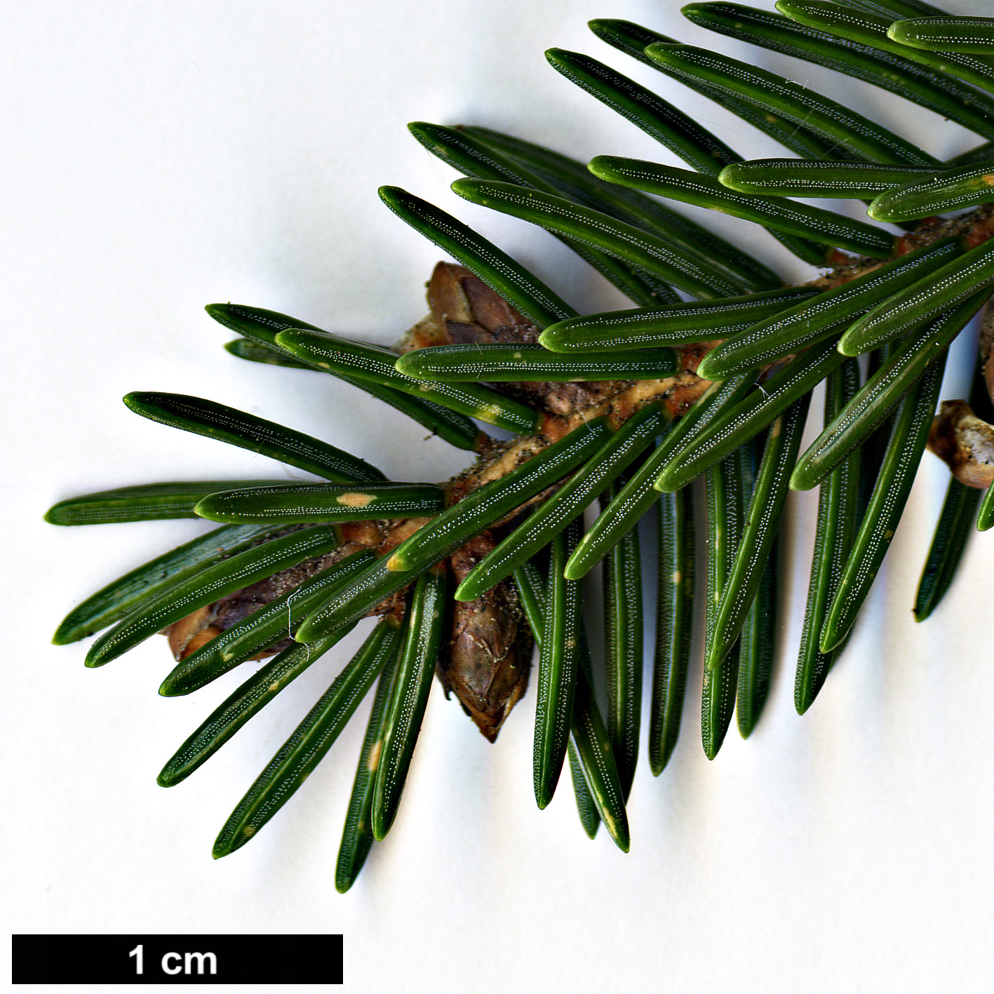 High resolution image: Family: Pinaceae - Genus: Picea - Taxon: maximowiczii