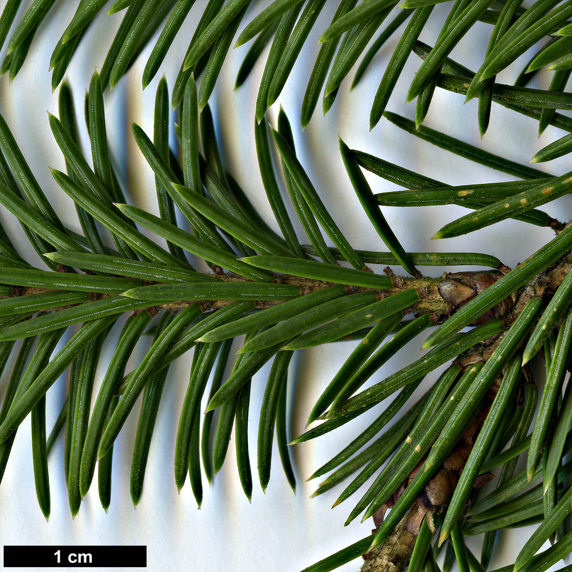 High resolution image: Family: Pinaceae - Genus: Picea - Taxon: purpurea