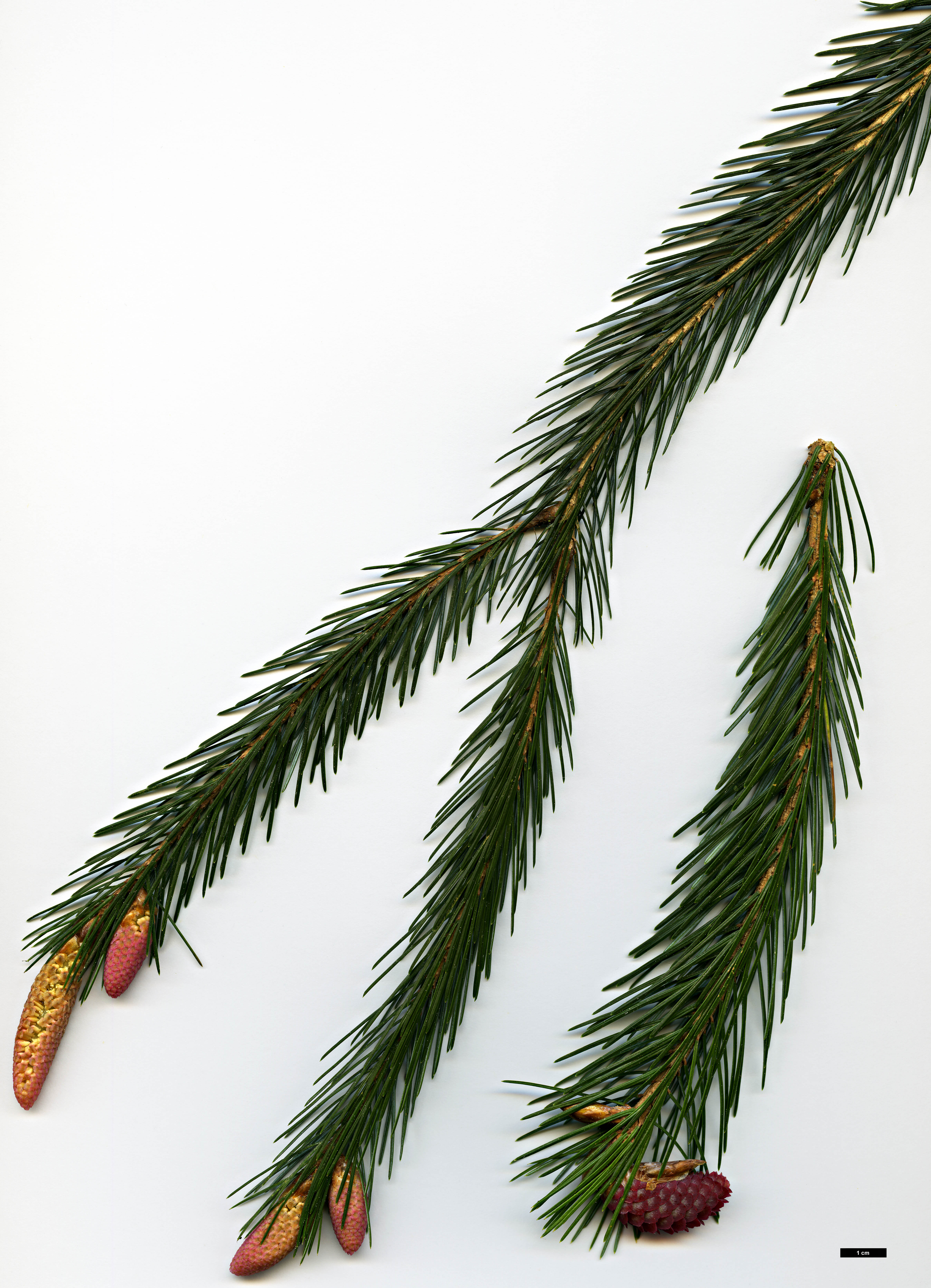High resolution image: Family: Pinaceae - Genus: Picea - Taxon: spinulosa