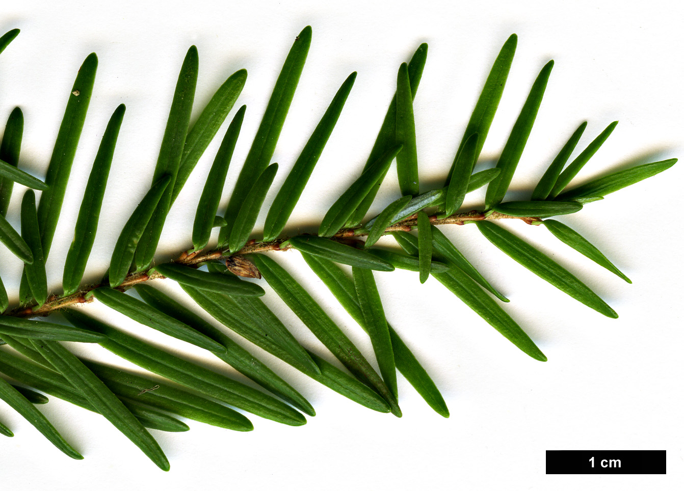 High resolution image: Family: Pinaceae - Genus: Tsuga - Taxon: heterophylla