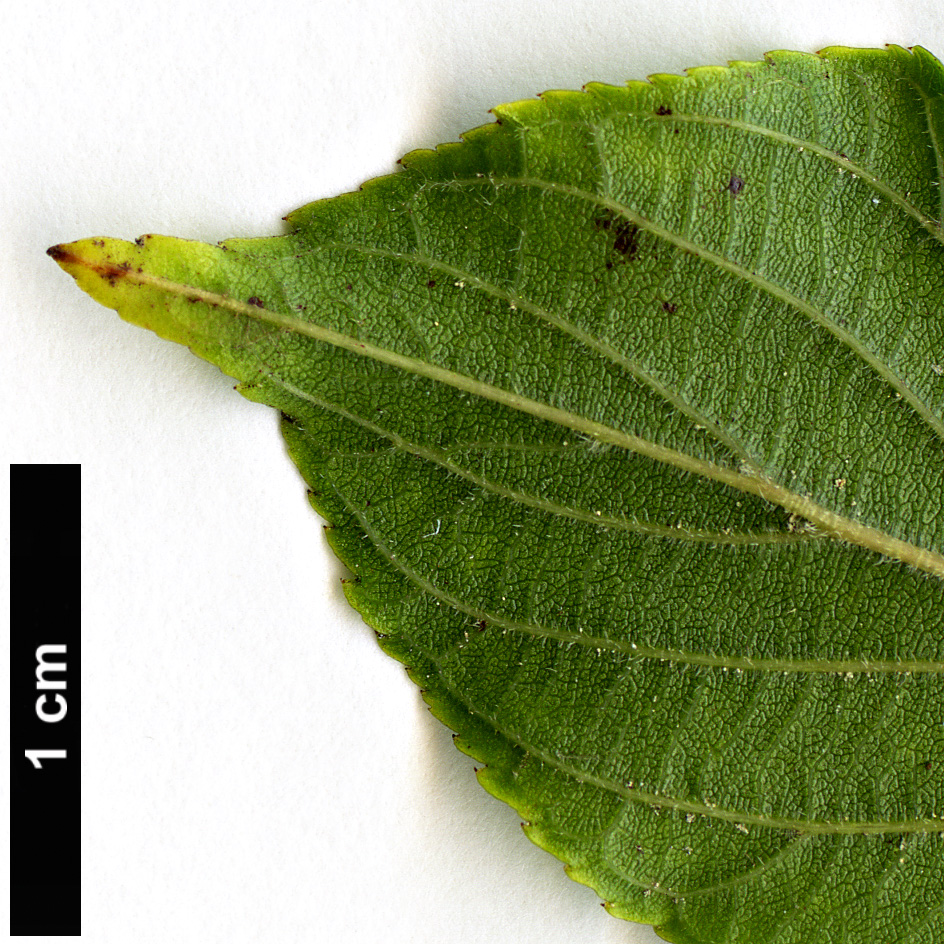 High resolution image: Family: Rhamnaceae - Genus: Rhamnella - Taxon: franguloides