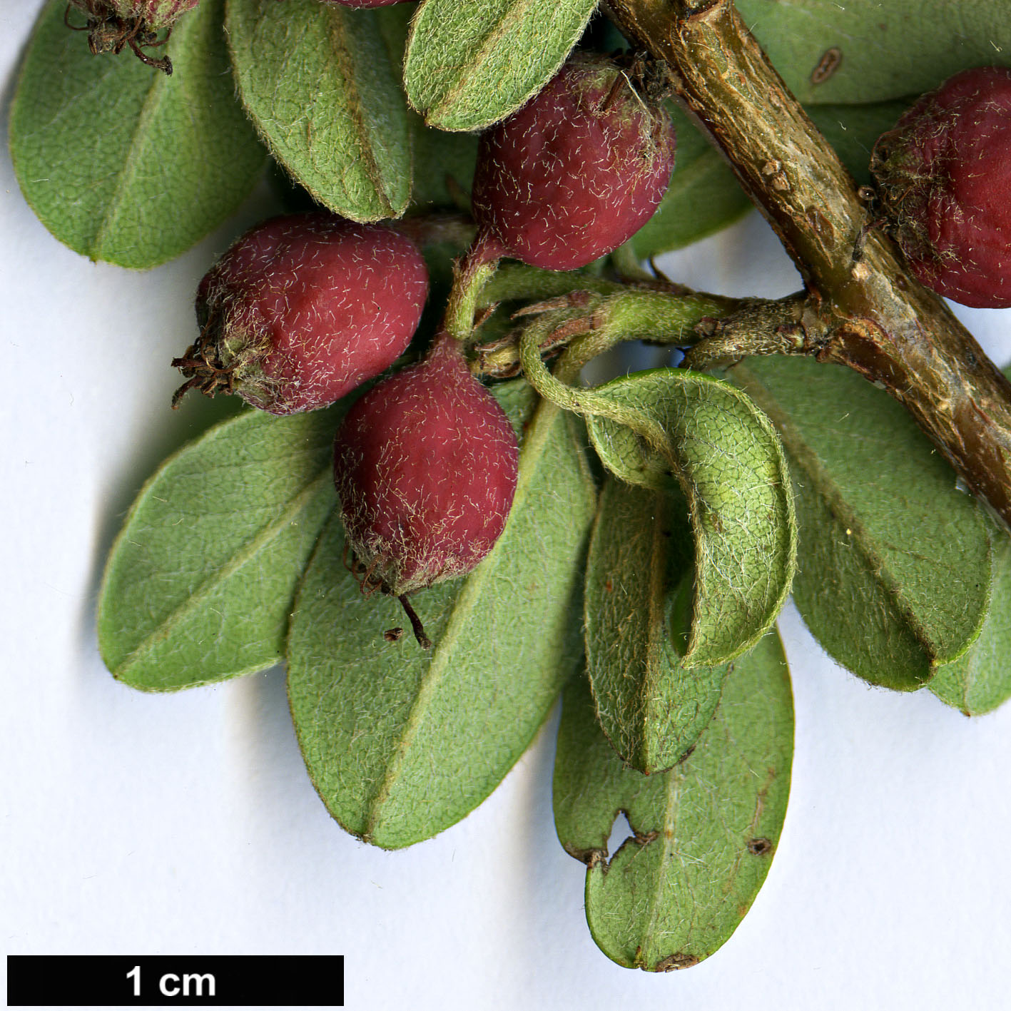 High resolution image: Family: Rosaceae - Genus: Cotoneaster - Taxon: buxifolius
