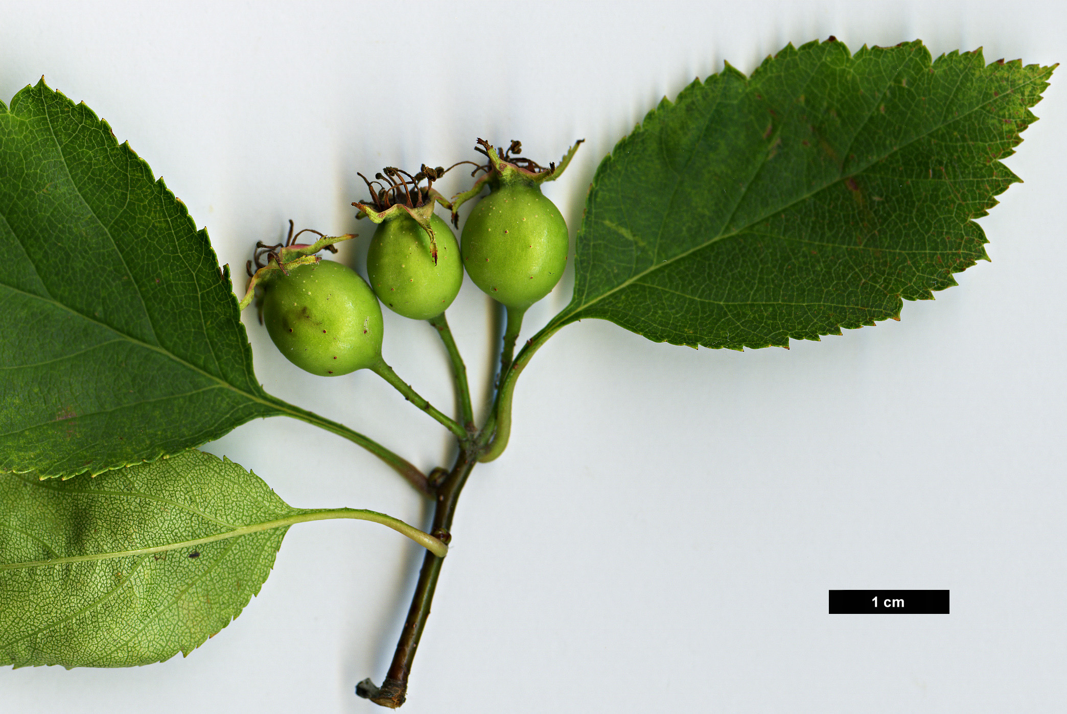 High resolution image: Family: Rosaceae - Genus: Crataegus - Taxon: buckleyi