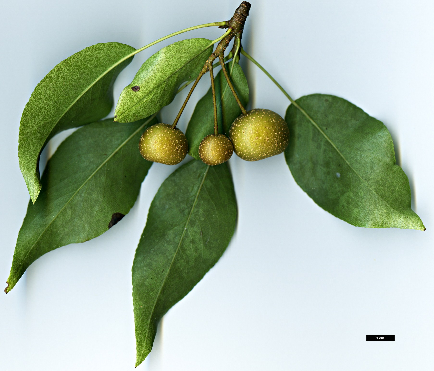 High resolution image: Family: Rosaceae - Genus: Pyrus - Taxon: pashia
