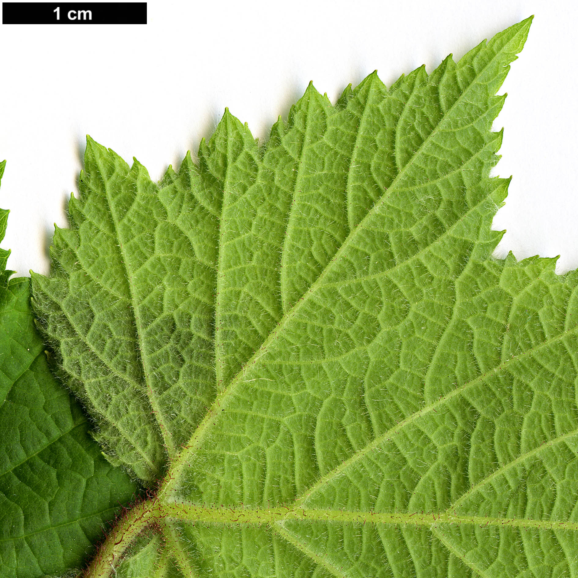 High resolution image: Family: Rosaceae - Genus: Rubus - Taxon: odoratus