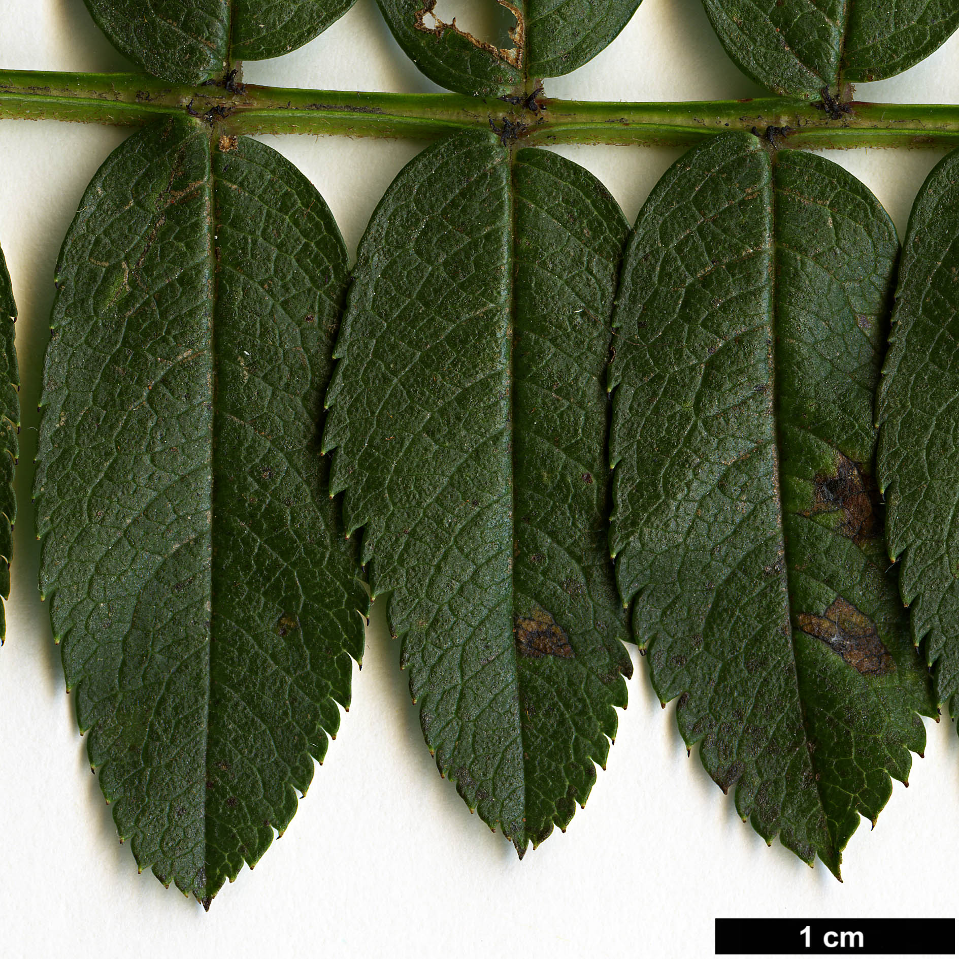 High resolution image: Family: Rosaceae - Genus: Sorbus - Taxon: KR 5000 (S. aff. filipes)