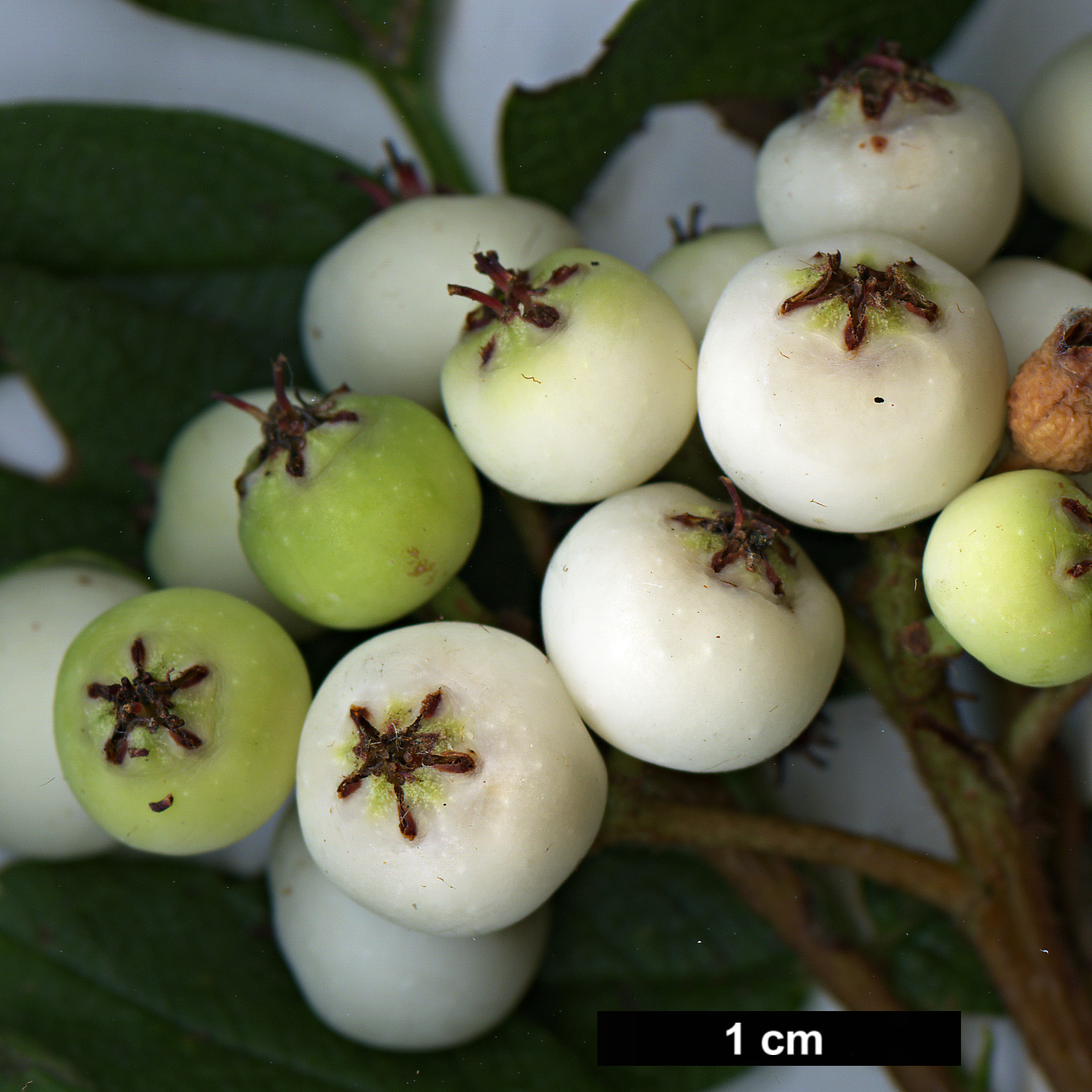 High resolution image: Family: Rosaceae - Genus: Sorbus - Taxon: KR 5008 (S. aff. kiukiangensis)