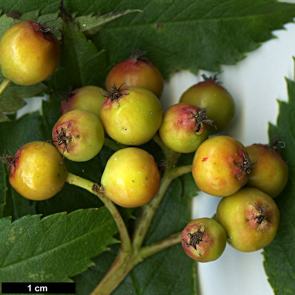 High resolution image: Family: Rosaceae - Genus: Sorbus - Taxon: commixta