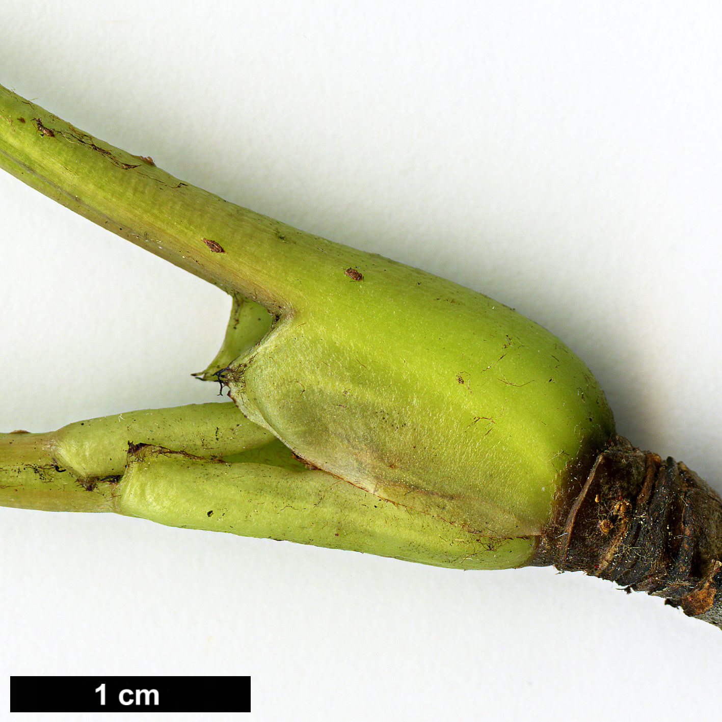 High resolution image: Family: Rosaceae - Genus: Sorbus - Taxon: keenanii