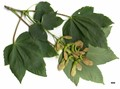 HerbariumCode: DIV - Herbarium: Diverse Sources - Number plant: 0000 - Number picture: 01