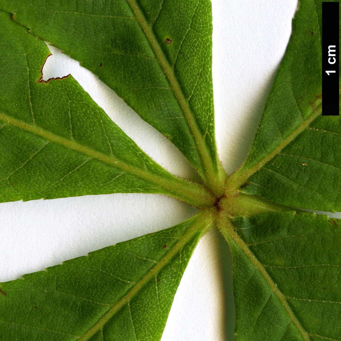 High resolution image: Family: Sapindaceae - Genus: Aesculus - Taxon: flava